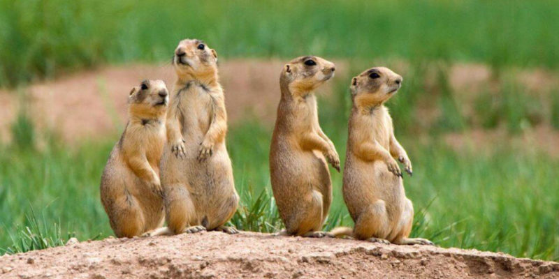 Talk goes to the prairie dogs